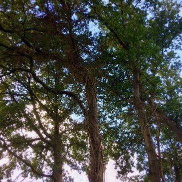 Reuring over de bomen op de Driesprong
